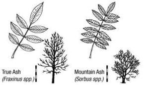 Ash Identification